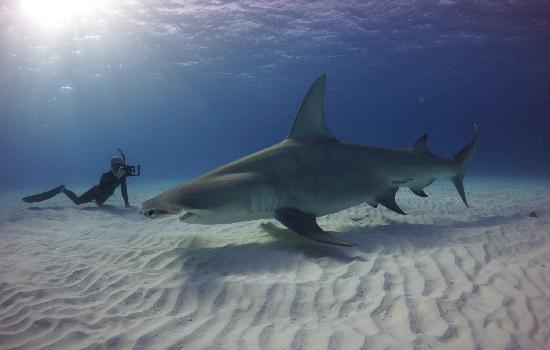 Shark dive in Bimini Bahamas